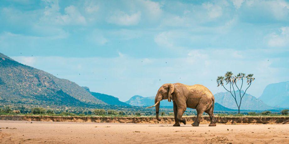 Africa Wildlife - Wandbild - Kenianischer Elefant 3
