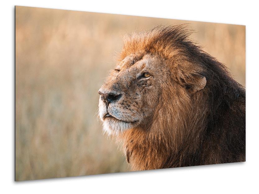 Africa Wildlife - Wandbild - Löwe in der Serengeti 1