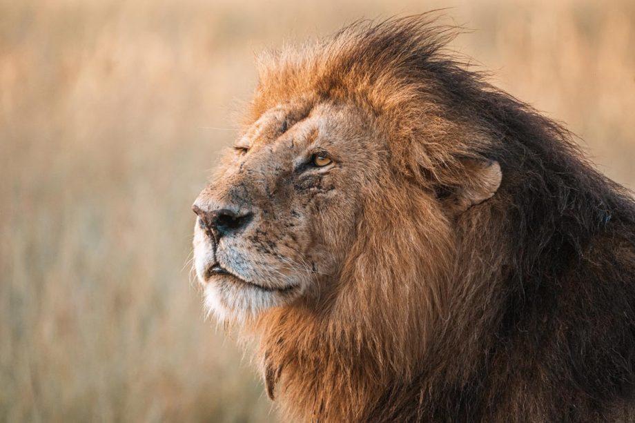 Africa Wildlife - Wandbild - Löwe in der Serengeti 3