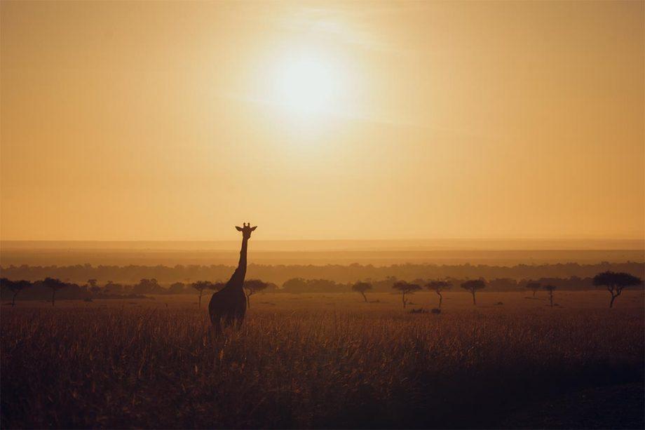 Africa Wildlife - Wandbild - Giraffe in der Morgensonne Kenias 3